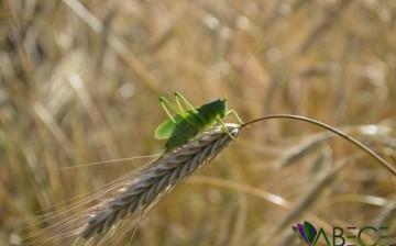 Böcek Kıyameti; Çekirgelerin Sayıları Azalıyor!