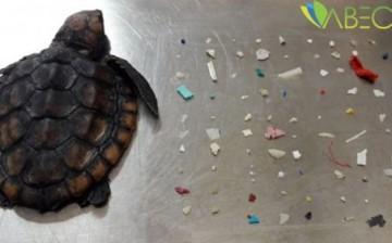 Karaya Vuran Deniz Kaplumbağasının Midesinden 104 Parça Plastik Çıkarıldı